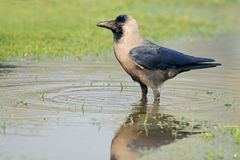 Indian house crow Royalty Free Stock Photos