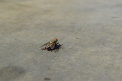 Indian House Fly Stock Images
