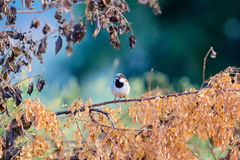 Indian House Sparrow. Stock Photo