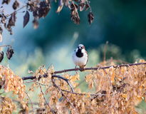 Indian House Sparrow. Royalty Free Stock Images