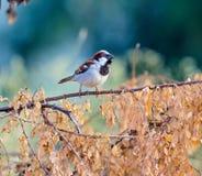 Indian House Sparrow. Royalty Free Stock Photos