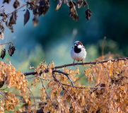 Indian House Sparrow. Royalty Free Stock Photography