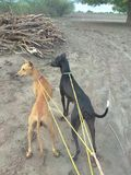Indian hunting dogs kanni and chippiparai standing with a pride in the hunting field stock photography