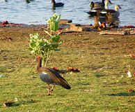 Indian Ibis, Randarda Lake. Randarda lake, Rajkot, Gujarat, India is known for resident and migrant birds and ducks... This is a photograph of red-naped ibis Royalty Free Stock Images