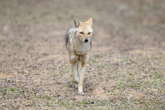 Indian Jackal Royalty Free Stock Images