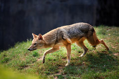Indian jackal. Beautiful shot of alert indian jackal Royalty Free Stock Image