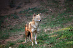 Indian jackal Stock Photo