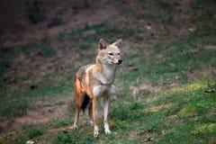 Indian jackal Stock Photo