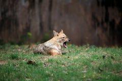 Indian jackal stock image