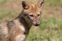 Indian jackal stock photography