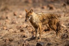 Indian Jackal or Canis aureus indicus aggressively walking and observing the behavior possible prey at ranthambore. Tiger reserve, rajasthan, india stock images