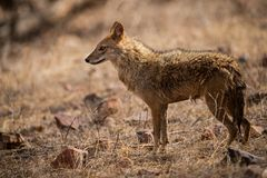 Indian Jackal or Canis aureus indicus aggressively walking and observing the behavior possible prey at ranthambore. Tiger reserve, rajasthan, india royalty free stock images