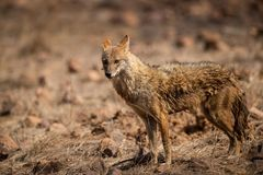 Indian Jackal or Canis aureus indicus aggressively walking and observing the behavior possible prey at ranthambore. Tiger reserve, rajasthan, india royalty free stock image