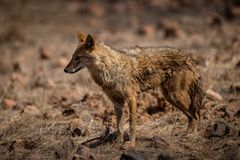 Indian Jackal or Canis aureus indicus aggressively walking and observing the behavior possible prey at ranthambore. Tiger reserve, rajasthan, india stock photography