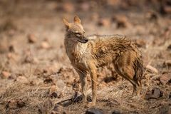 Indian Jackal or Canis aureus indicus aggressively walking and observing the behavior possible prey at ranthambore. Tiger reserve, rajasthan, india stock image