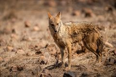 Indian Jackal or Canis aureus indicus aggressively walking and observing the behavior possible prey at ranthambore. Tiger reserve, rajasthan, india stock photo