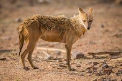 Indian Jackal, Canis aureus indicus closeup royalty free stock image