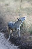 Indian Jackal Making Territorial Call in Kanha National Park, India Stock Image