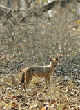 Indian Jackal in Pench Tiger Reserve Stock Photography