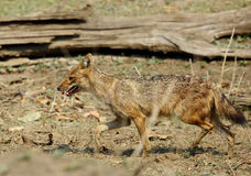 Indian Jackal in Pench Tiger Reserve Royalty Free Stock Photography