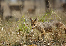 Indian Jackal in Pench Tiger Reserve Stock Images
