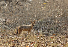 Indian Jackal in Pench Tiger Reserve Stock Photos