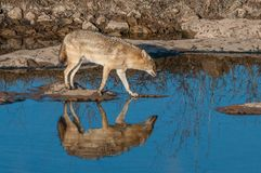 Indian jackal in Ranthambore National Park, India. Indian jackal in Ranthambore National Park in Rajasthan, India royalty free stock images