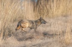 Indian jackal in Ranthambore National Park, India. Indian jackal running in Ranthambore National Park in Rajasthan, India stock photo