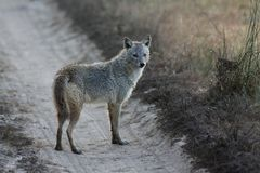 Indian Jackal Standing on Road in Kanha National Park, India Stock Images