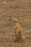 Indian Jackal Royalty Free Stock Photography