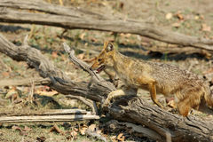 Indian Jackal in the woods of Pench Tiger Reserve Stock Photos