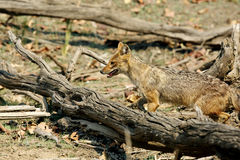 Indian Jackal in the woods of Pench Tiger Reserve Stock Photo