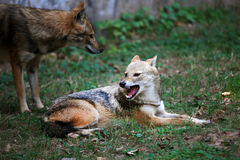 Indian jackals Royalty Free Stock Photos