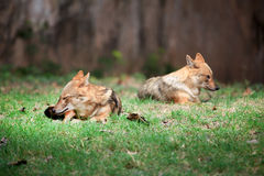 Indian jackals Royalty Free Stock Photography