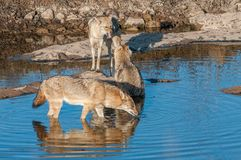 Indian jackals in Ranthambore National Park, India. Indian jackals at a water hole in Ranthambore National Park in Rajasthan, India royalty free stock photography