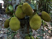 Indian jackfruit on the lower side of tree royalty free stock photos