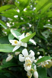 Indian Jasmine Flower stock images