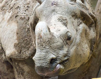 Indian or Java Rhinoceros Close Up Royalty Free Stock Image