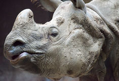 Indian or Java rhinoceros face close up Stock Photos