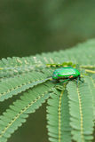 Indian Jewel beetle or Ponvandu. Royalty Free Stock Photos