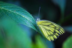 Indian Jezebel butterfly sitting on the green leaf. In the garden during spring season stock photo