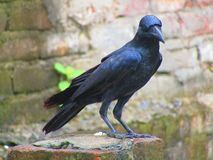 The Indian jungle crow Corvus culminatus is a species of crow found across the Indian Subcontinent south of the Himalayas. stock photography