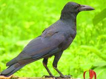 The Indian jungle crow Corvus culminatus is a species of crow found across the Indian Subcontinent south of the Himalayas. royalty free stock image