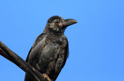 Indian Jungle Crow Stock Photos
