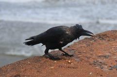 Indian Jungle Crow Stock Photos