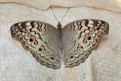 Indian Junonia atlites grey pansy butterfly closeup. royalty free stock image