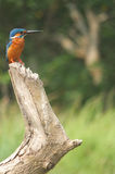 Indian Kingfisher 2 Royalty Free Stock Photography