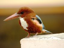 Indian Kingfisher Royalty Free Stock Photo