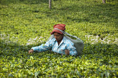 Indian lady picking tea leaves. Indian lady plucking tea leaves in the tea garden Royalty Free Stock Image