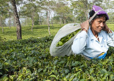 Indian lady picking tea leaves Royalty Free Stock Images